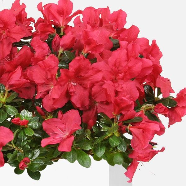 Αζαλέα σε Κεραμικό - Flowernet.gr