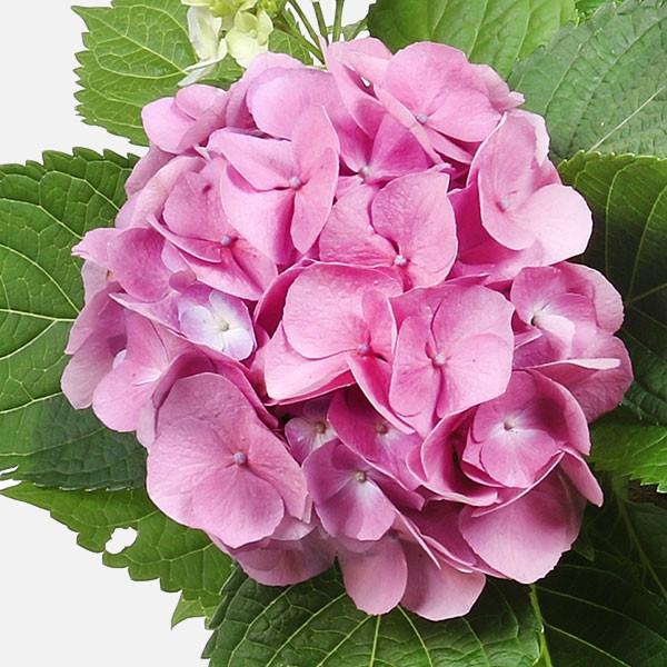 Ορτανσία σε Κεραμικό - Flowernet.gr