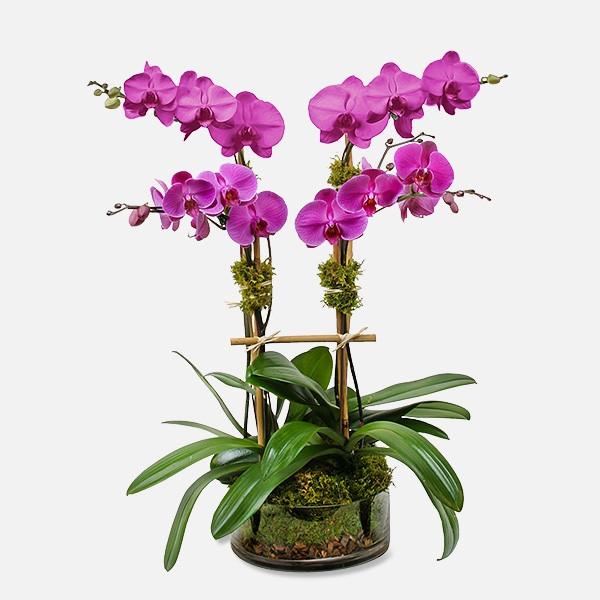 Σύνθεση με 2 Δίκλωνες Φαλαίνοψις - Flowernet.gr
