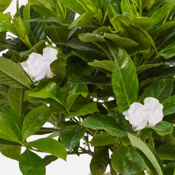 Γαρδένια σε κεραμικό - Flowernet.gr
