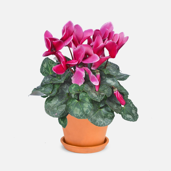 Φούξια Kυκλάμινο - Αποστολή Φυτών Αθήνα Ελλάδα - Flowernet.gr