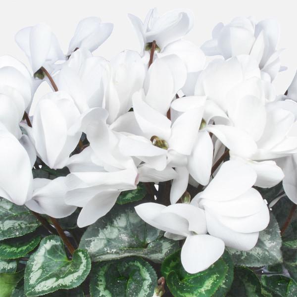 2 Λευκά Kυκλάμινα σε Kεραμικό - Flowernet.gr