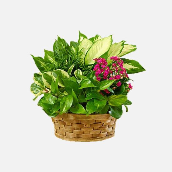 Σύνθεση φυτών σε καλάθι - flowernet.gr